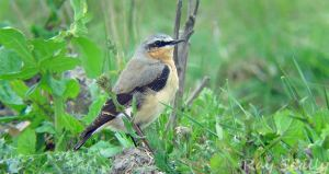 02.05.15. Wheatear, Weaver Bend, Frodsham Marsh