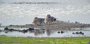 05.05.15. Gadwall (pair), No.3 tank, Frodsham Marsh. Bill Morton