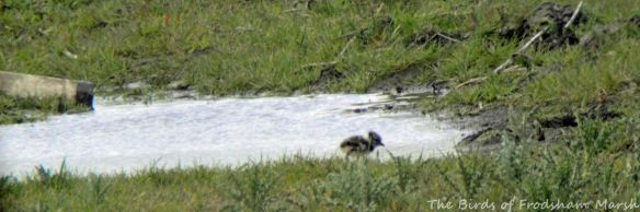 05.05.15. Lapwing chick, No.3 tank, Frodsham Marsh. Bill Morton