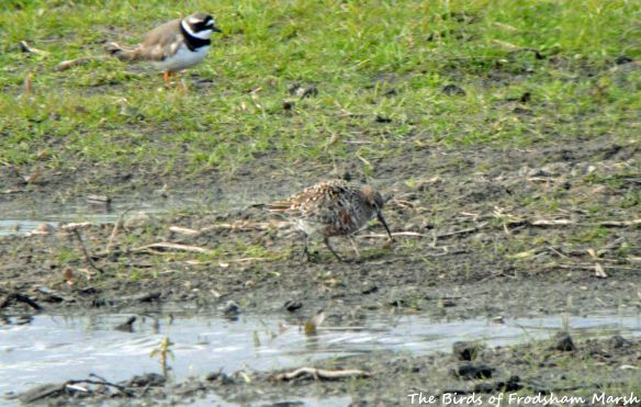 05.05.15. summer Curlew Sandpiper (bird 2 with Ringed Plover), No.3 tank, Frodsham Marsh. Bill Morton (4)