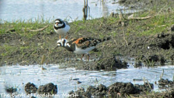 05.05.15. Turnstone (with Ringed Plover), No.3 tank, Frodsham Marsh. Bill Morton (4)