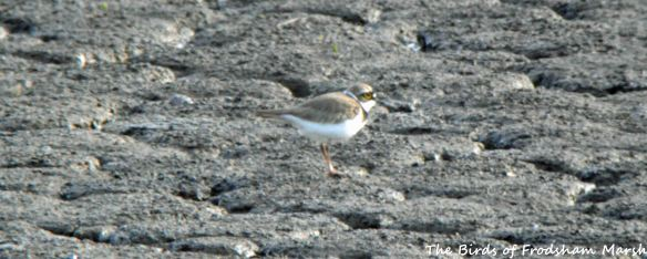 07.05.15. Little Ringed Plover, No.6 tank, Frodsham Marsh. Bill Morton (2)