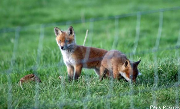 08.05.15. Fox cubs, Ince Marshes. Paul Ralston (4)