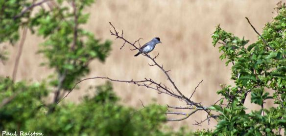 08.05.15. male Blackcap, Ince Marshes. Paul Ralston (6)