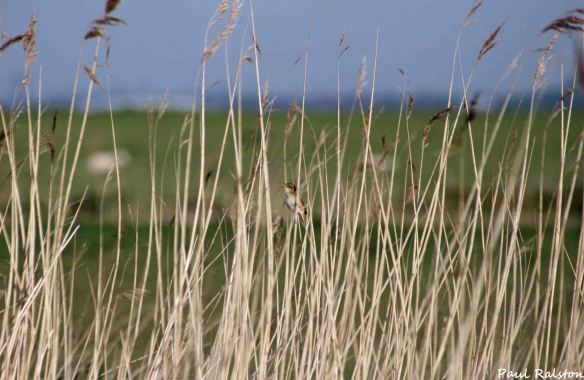 08.05.15. Sedge Warbler singing, Ince Marshes. Paul Ralston (1)