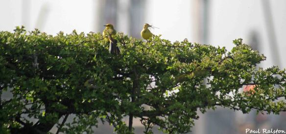 08.05.15. Yellow Wagtail (pair), Ince Marshes. Paul Ralston