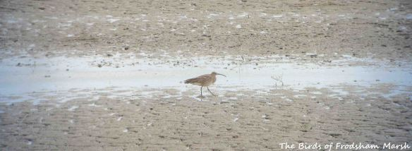 09.05.14. Whimbrel, No.6 tank, Frodsham Marsh. Bill Morton
