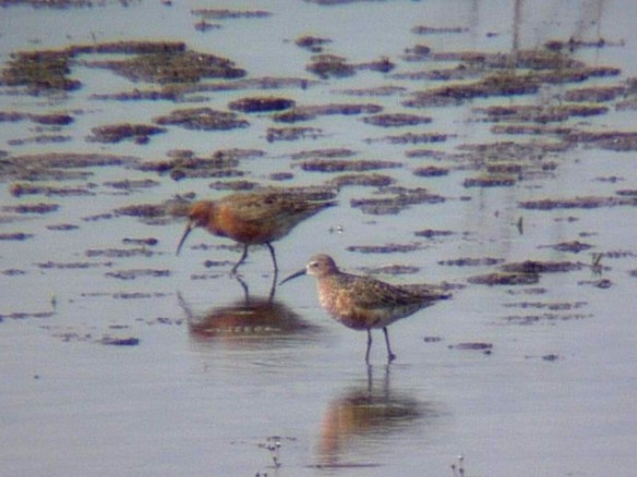 10.05.15. Curlew Sandpiper (summer adults), No.6 tank, Frodsham Marsh. Alyn Chambers