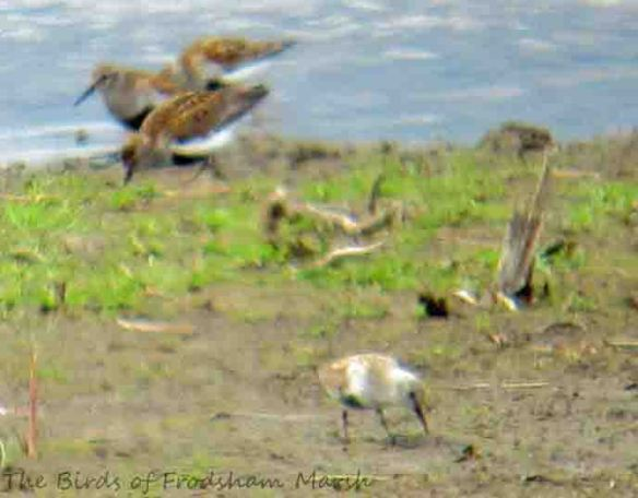 10.05.15. (frosty) Dunlin in flock, No.3 tank, Frodsham Marsh. Bill Morton (62)