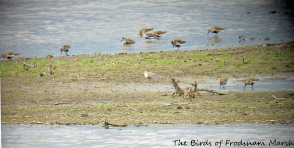 10.05.15. (frosty) Dunlin in flock, No.3 tank, Frodsham Marsh. Bill Morton (65)