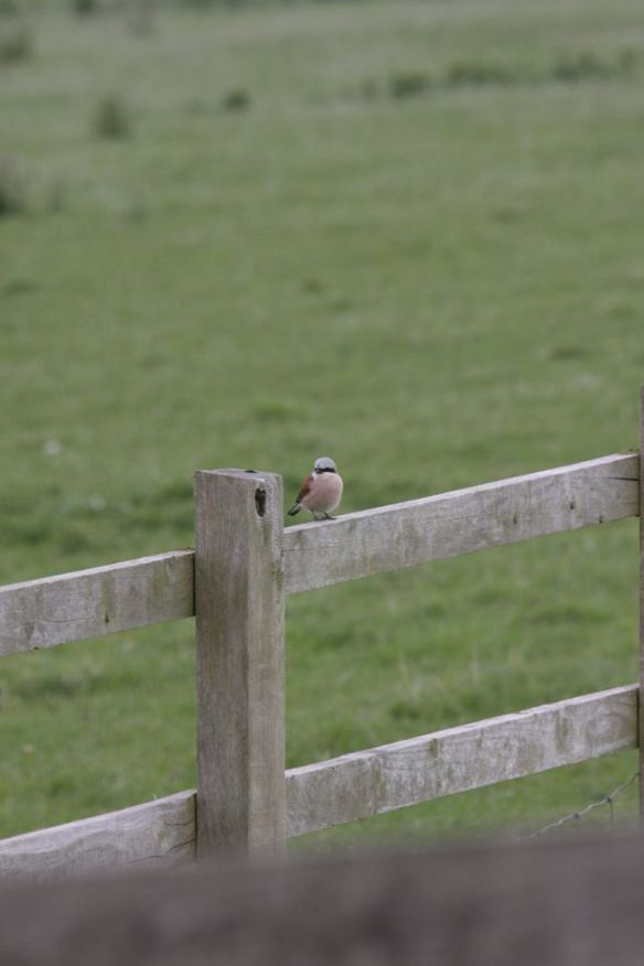 30.05.15. (male) Red-backed Shrike, No.1 tank, Frodsham Marsh. Steve O'Connel