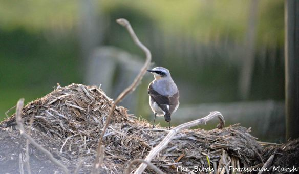 12.05.15. male Wheatear, Marsh Farm. Bill Morton  (3)
