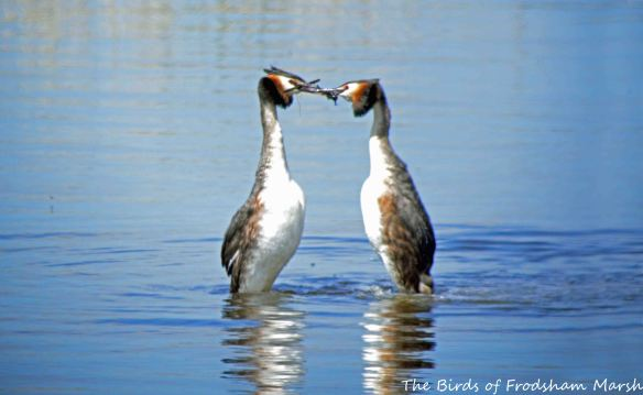 23.05.15. Great Crested Grebe pair displaying, Weaver estuary, Frodsham Marsh. Bill Morton (10)