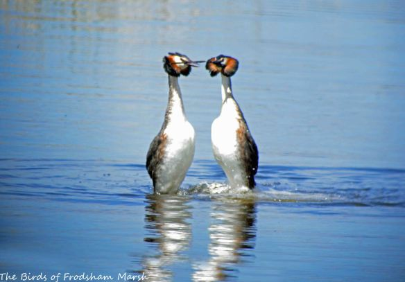23.05.15. Great Crested Grebe pair displaying, Weaver estuary, Frodsham Marsh. Bill Morton (15)