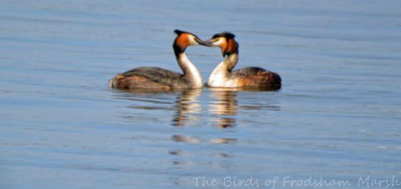 23.05.15. Great Crested Grebe pair displaying, Weaver estuary, Frodsham Marsh. Bill Morton (19)