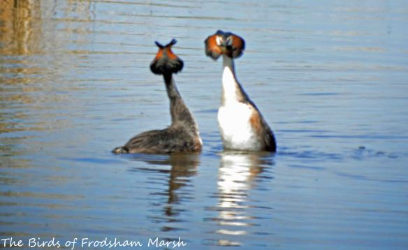 23.05.15. Great Crested Grebe pair displaying, Weaver estuary, Frodsham Marsh. Bill Morton (3)