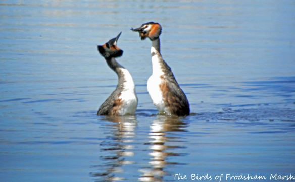 23.05.15. Great Crested Grebe pair displaying, Weaver estuary, Frodsham Marsh. Bill Morton (6)