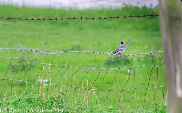 23.05.15. White Wagtail, Marsh Farm, Frodsham Marsh. Bill Morton (2)