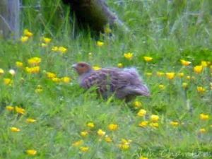25.05.15. Grey Partridge, Shooters' Pools, frodsham Marsh. Alyn Chambers (1)