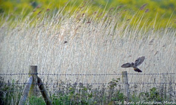 26.05.15. Cuckoo (female), Brook Furlong Lane fields, Frodsham Marsh.......