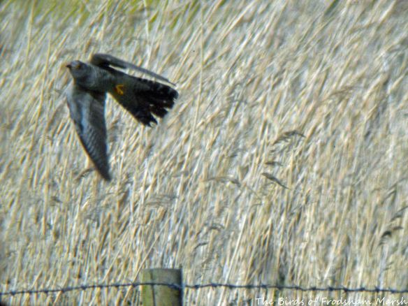 26.05.15. Cuckoo (female), Brook Furlong Lane fields, Frodsham Marsh,..