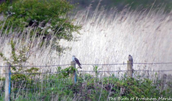26.05.15. Cuckoo (female), Brook Furlong Lane fields, Frodsham Marsh......