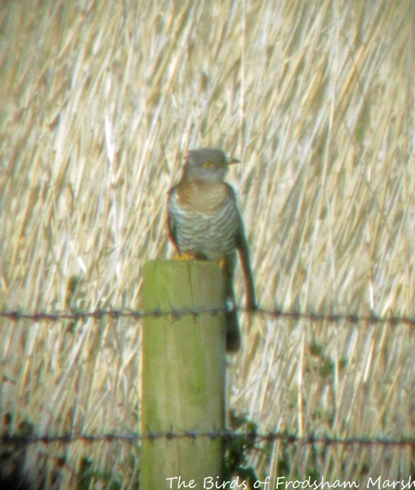 26.05.15. Cuckoo (female), Brook Furlong Lane fields, Frodsham Marsh