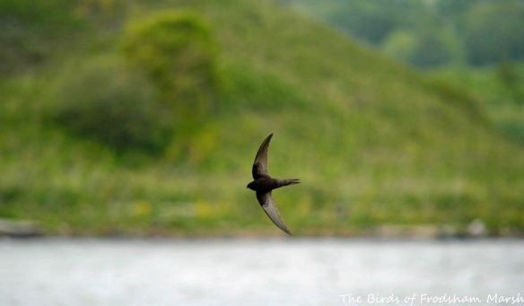 26.05.15. Swift(s), River Weaver, Frodsham Marsh...,