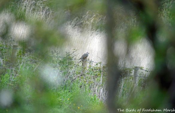 28.05.15. male Cuckoo, Brook Furlong Lane fields, Frodsham Marsh. Bill Morton (1)