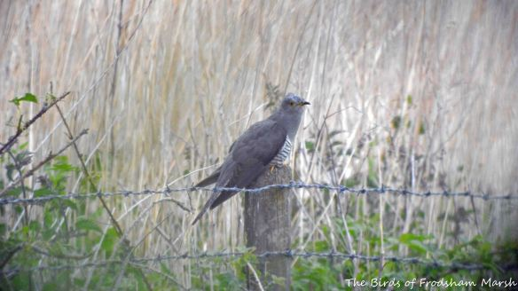28.05.15. male Cuckoo, Brook Furlong Lane fields, Frodsham Marsh. Bill Morton (2)