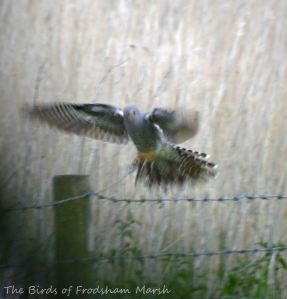 28.05.15. male Cuckoo, Brook Furlong Lane fields, Frodsham Marsh. Bill Morton (4)