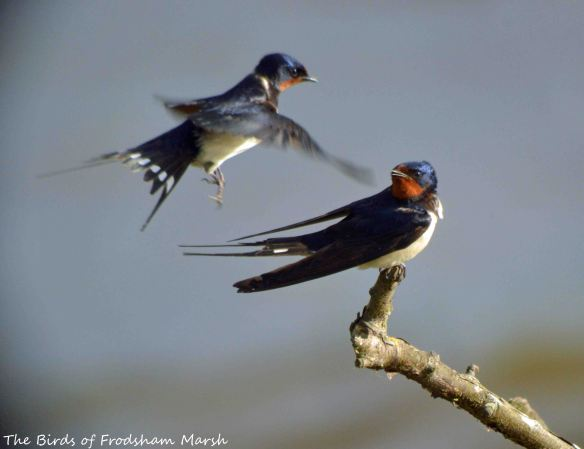 28.05.15. Swallows, No.6 tank, Frodsham Marsh. Bill Morton (2)