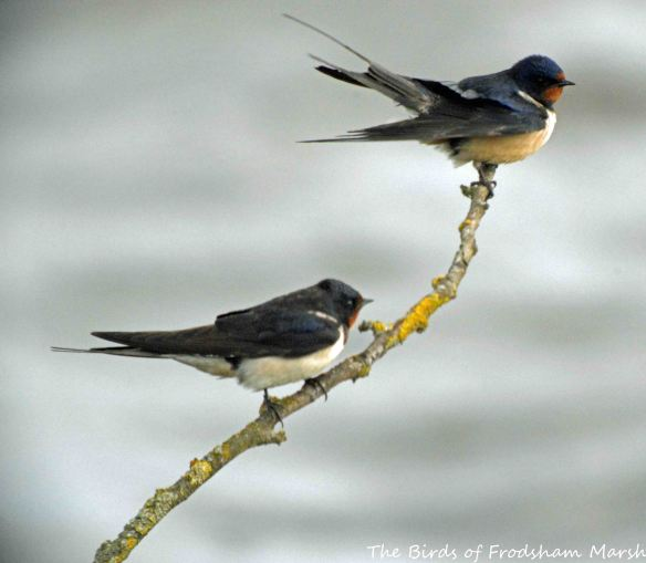 28.05.15. Swallows, No.6 tank, Frodsham Marsh. Bill Morton.