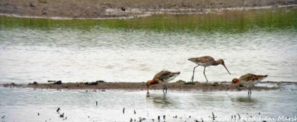 30.05.15. Black-tailed Godwits, No.3 tank.. Frodsham Marsh