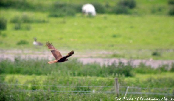 30.05.15. Marsh Harrier, No.3 tank, frodsham Marsh. Bill Morton (1)