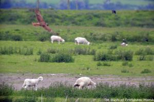 30.05.15. Marsh Harrier, No.3 tank, frodsham Marsh. Bill Morton (2)