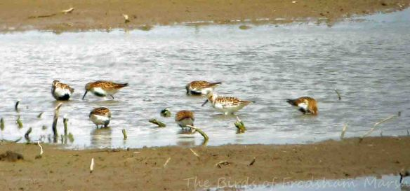 30.05.15. Sanderling and DUnlin, No.3 tank, Frodsham Marsh