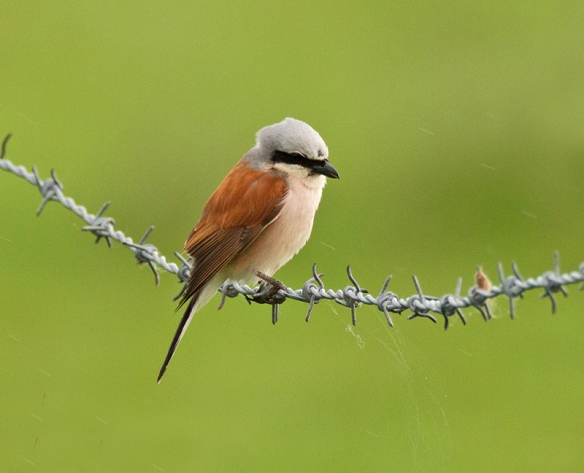 30.05.15. (male) Red-backed Shrike, No.1 tank, Frodsham Marsh. Graham Manson