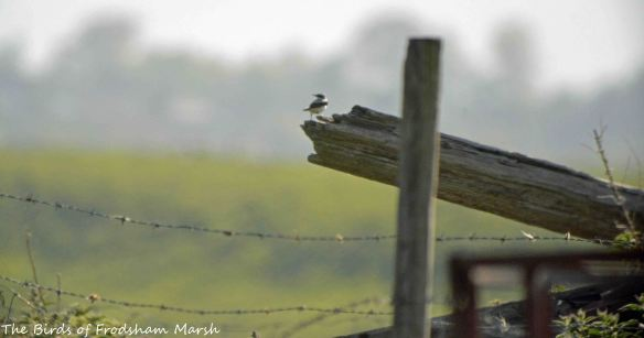 16.05.15. Wheatear, Marsh Farm, frodsham Marsh. Bill Morton