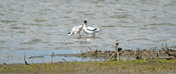 19.05.15. Avocets mating, No.3 tank,  Frodsham Marsh. Bill Morton