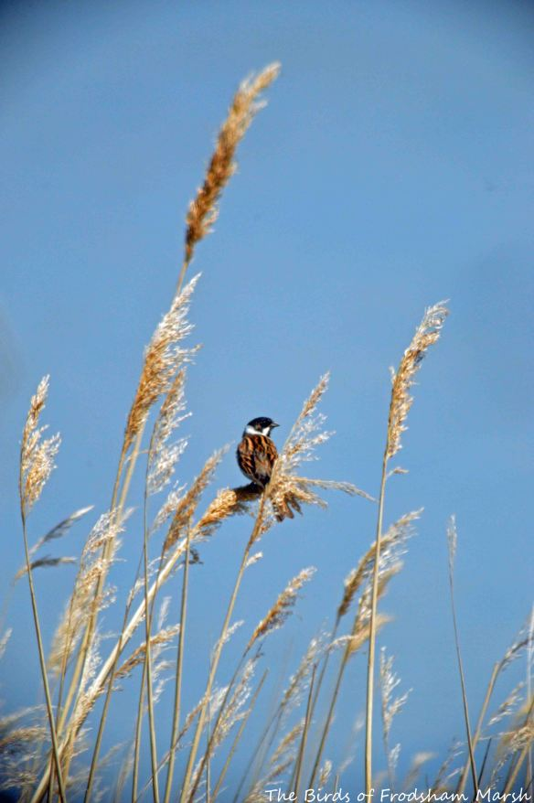23.05.15. male Reed Bunting, Redwall reed bed, frodsham Marsh. Bill Morton