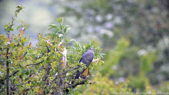 24.05.15. Cuckoo, Brook Furlong Lane, Frodsham Marsh. Bill Morton