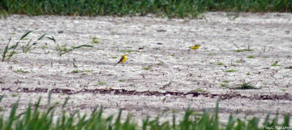 22.05.15. Yellow Wagtails, Ince Marsh. Paul Ralston