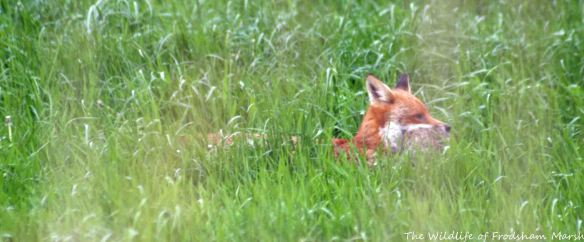 22.05.15. Red Fox, Ince Marsh. Paul Ralston