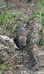 15.05.15. Brown Rat, Weaver Bend, frodsham Marsh. Paul Ralston.