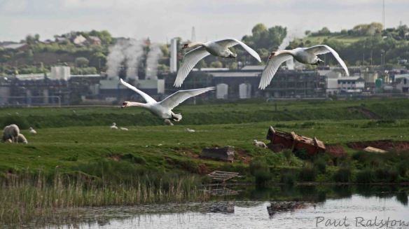 13.05.15. Mute Swans, Canal pools, Frodsham Marsh. Paul Ralston
