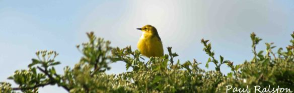 13.05.15. Yellow Wagtail. Ince Marsh. Paul Ralston