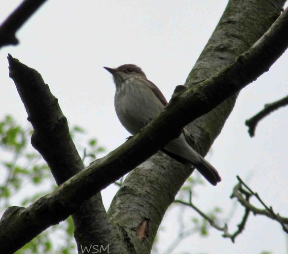 12.05.15. Spotted Flycatcher. Bill Morton