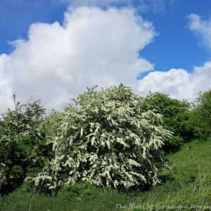 19.05.15. Hawthorn in blossom, No.5 tank,  Frodsham Marsh. Bill Morton