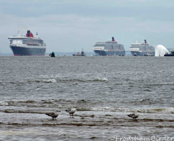 25.05.15. Herring Gulls and the 3 Queens from New Brighton. Bill Morton